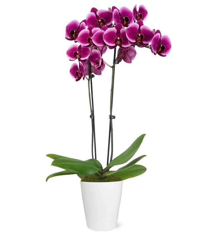 Royal Purple Orchid