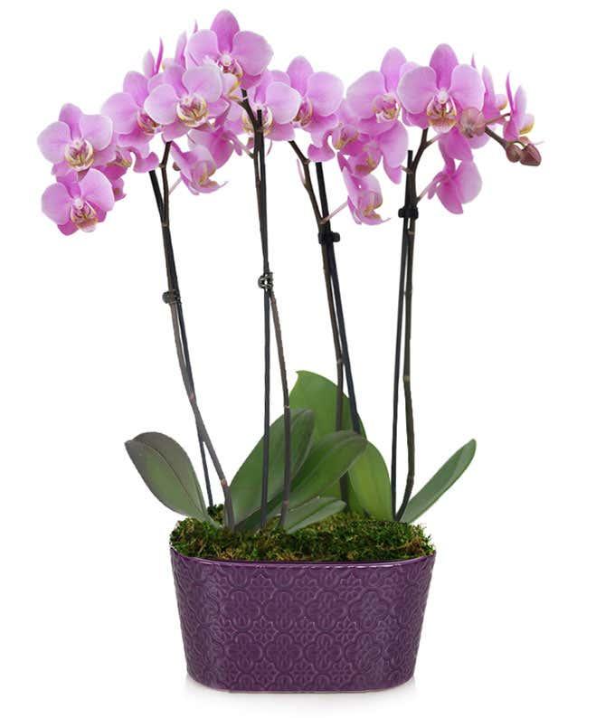 Summer Twilight Orchids