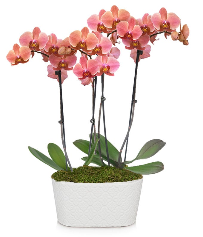 Perfect Peach Orchid Plant