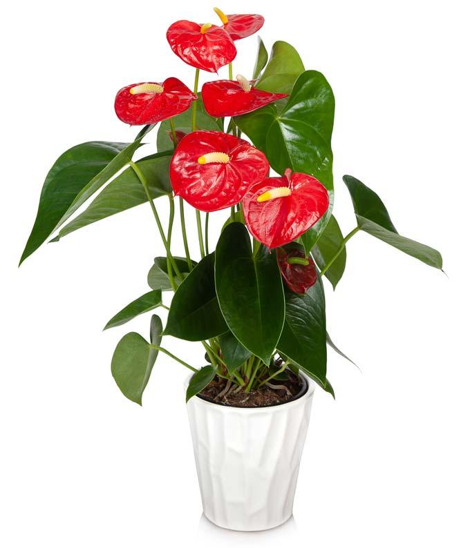 Classic Anthurium Plant