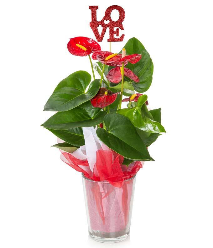 Devoted Red Anthurium