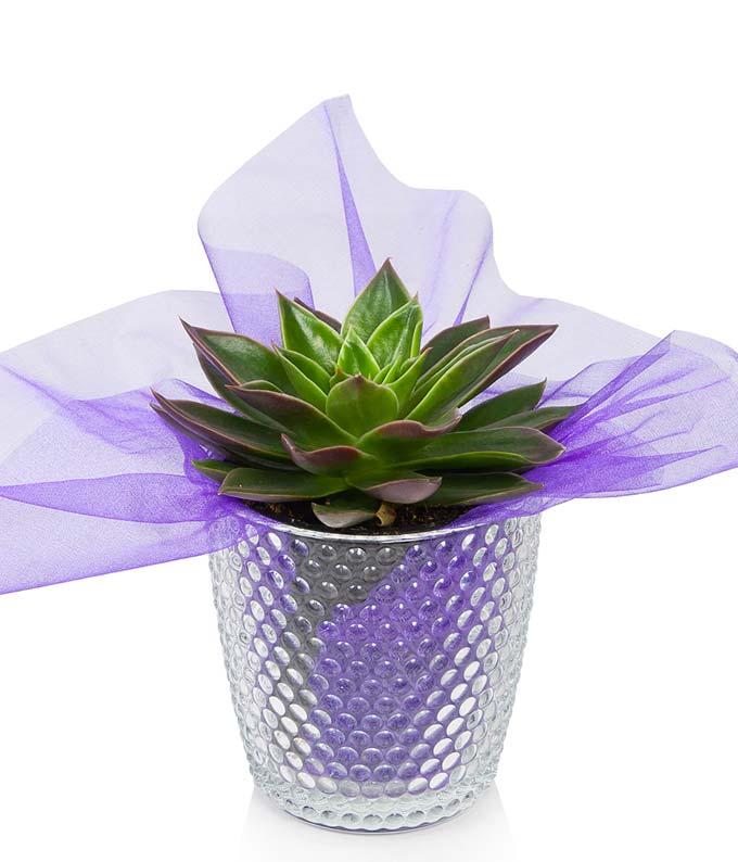 Dazzling Succulent