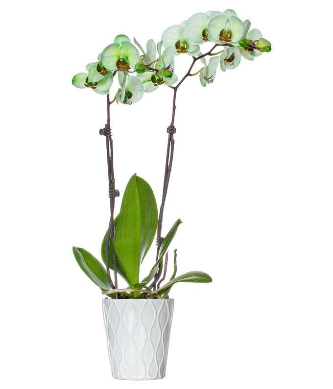 Sweet Pea Green Orchid