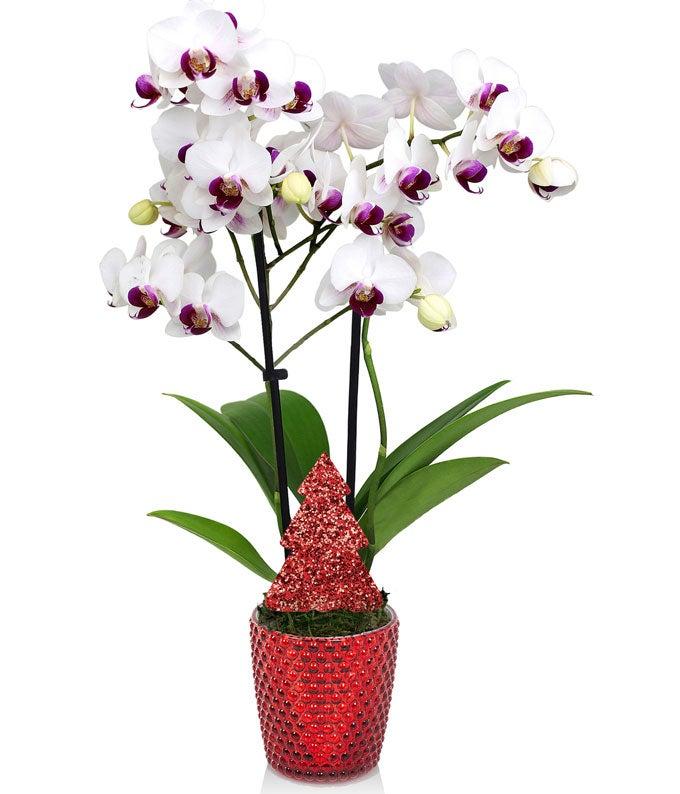 Joyful Christmas Orchid