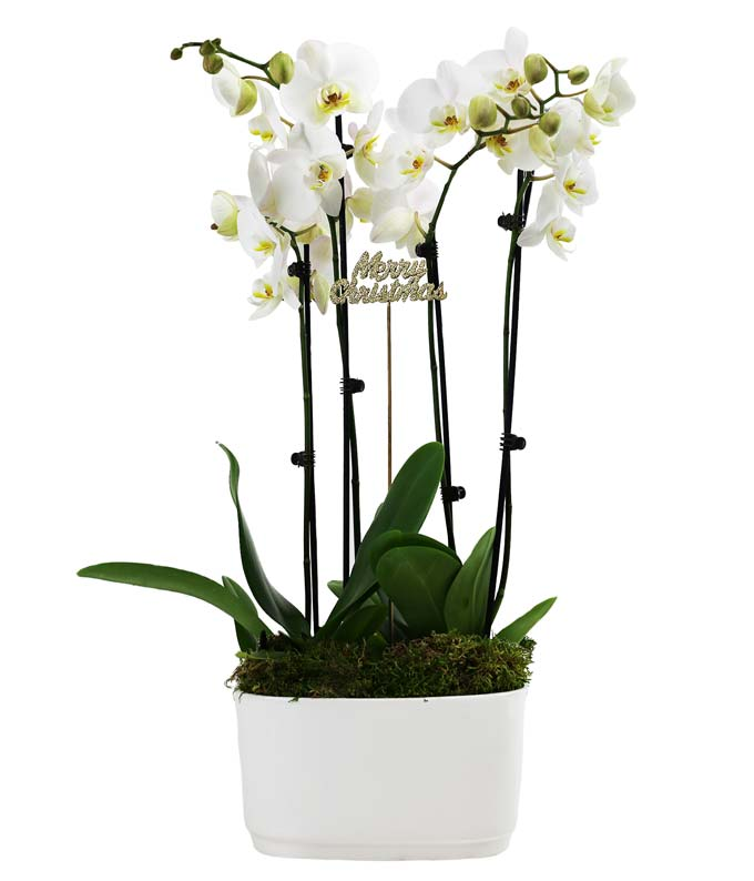 White Christmas Double Orchid