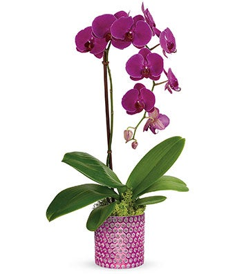 Perfect Purple Orchid Plant