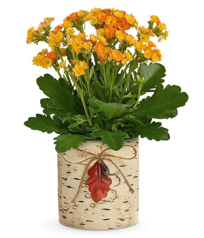 Yellow Kalanchoe plant delivered in a birch inspired container