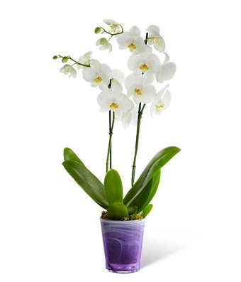 Flowers - Stylish Phalaenopsis Orchid Plant - Regular