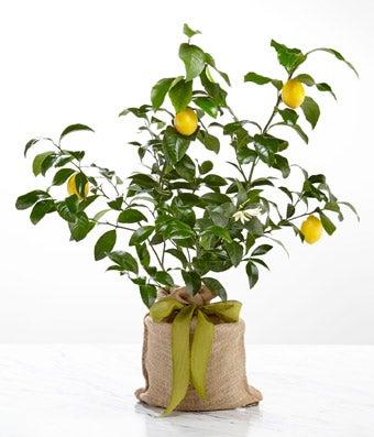 Zesty Myer Lemon Tree