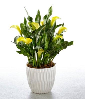 Sunny Calla Lily Plant