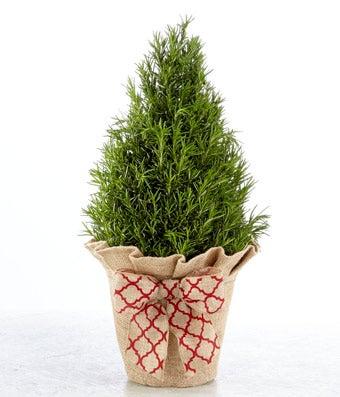 Fresh Herb Rosemary Tree
