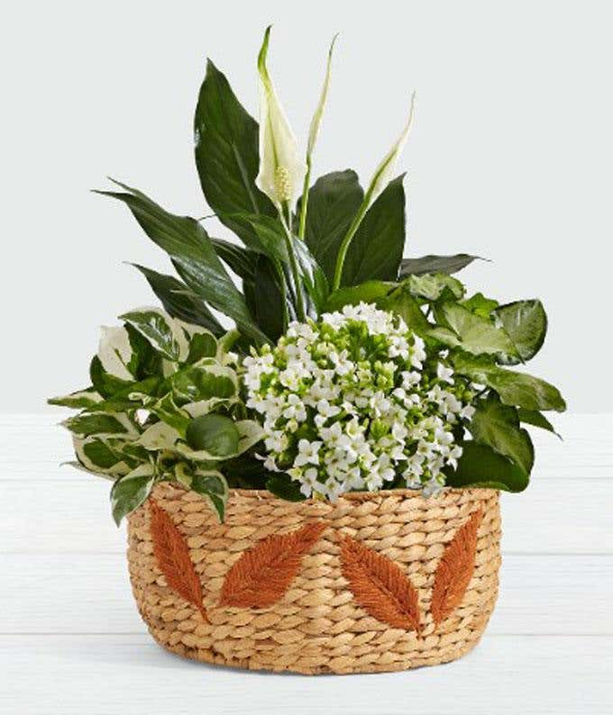 Kalanchoe plant delivered in a woven basket