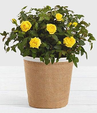 Mini Yellow Rose Plant