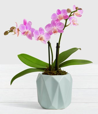 Spring Morning Mini Orchid