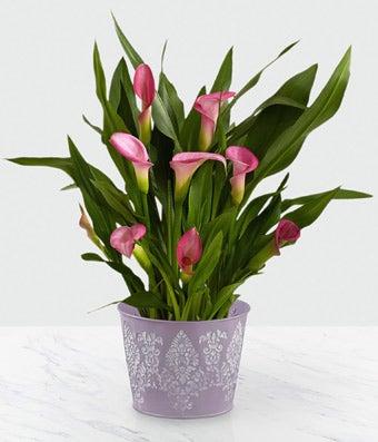 Triumphant Love Calla Lily Plant
