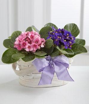 Deep purple violet plant for delivery