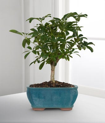 Dwarf Bonsai Tree