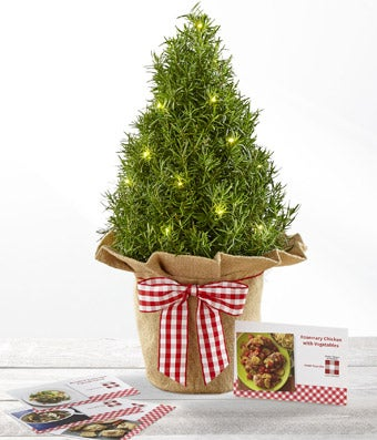 the ftd mini christmas rosemary tree - Mini Live Christmas Trees