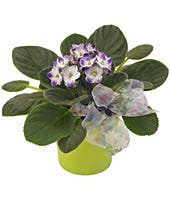 violet plant for delivery in container