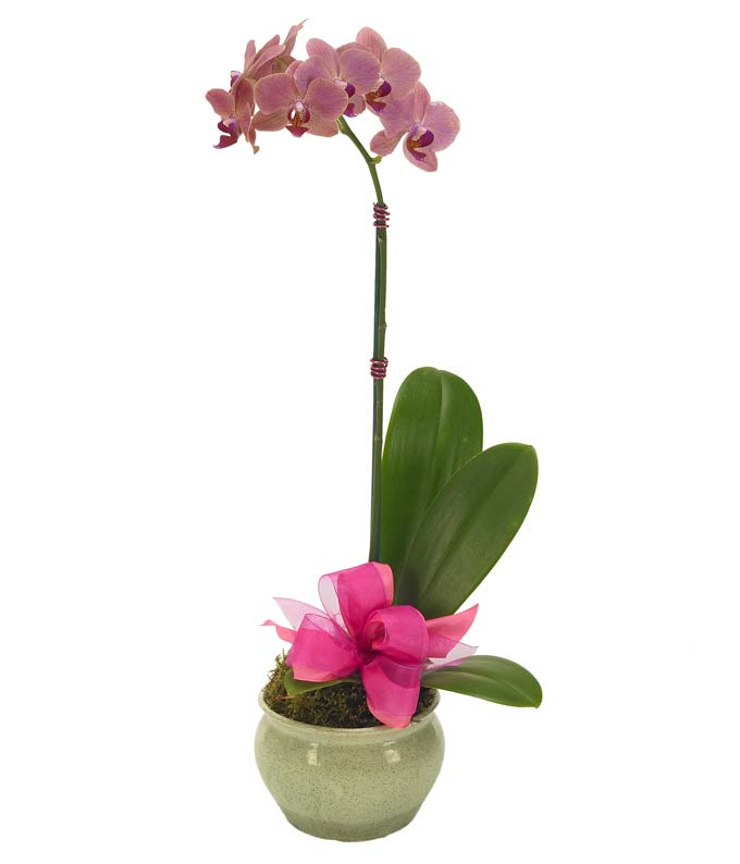 Pink orchid plant delivered with bow in container