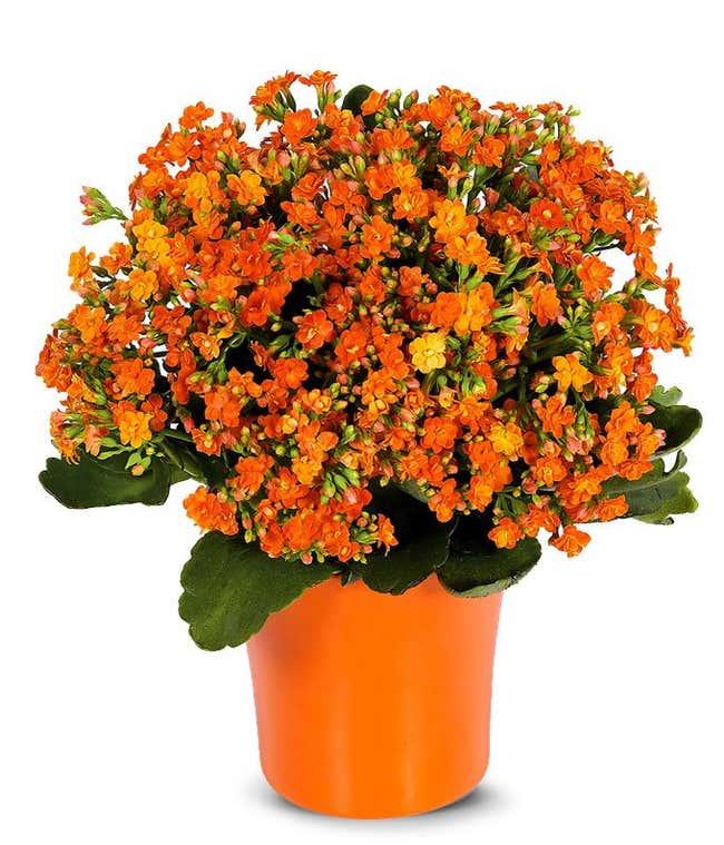 Orange Kalanchoe potted plant