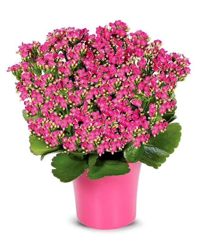 Pink Kalanchoe Plant