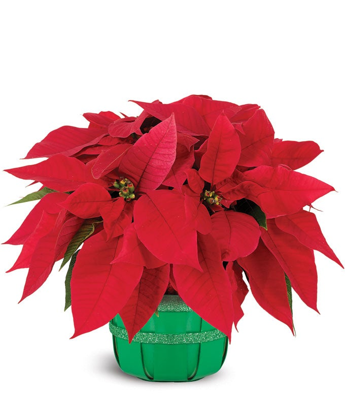 Holiday Poinsettia...