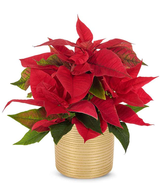 Red poinsettia plant in a gold themed vase