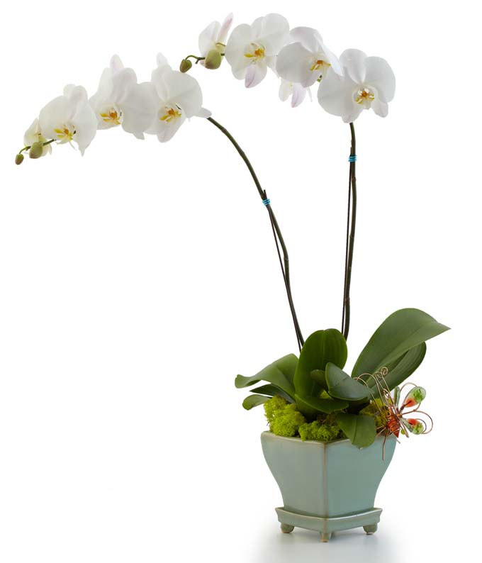 Two white orchid plants in a single pot