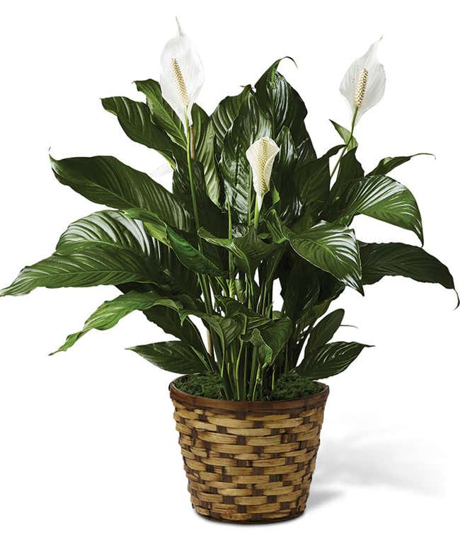 Classic Peace Lily - Large