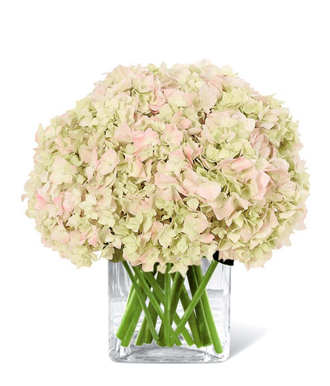 All About Pink Hydrangeas