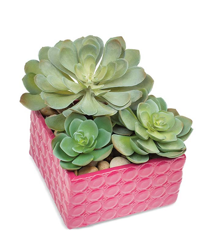 Succulents in pink container