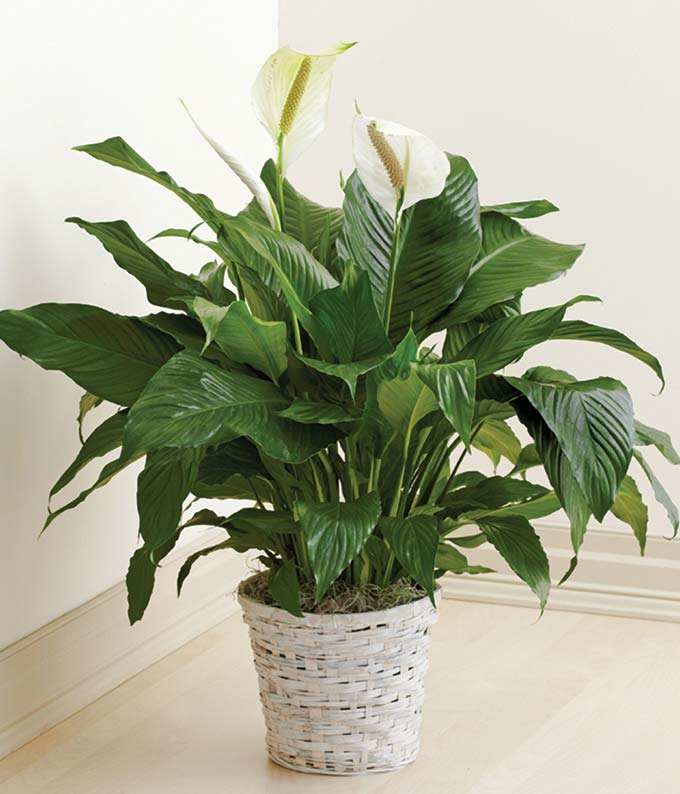 Floor Plant