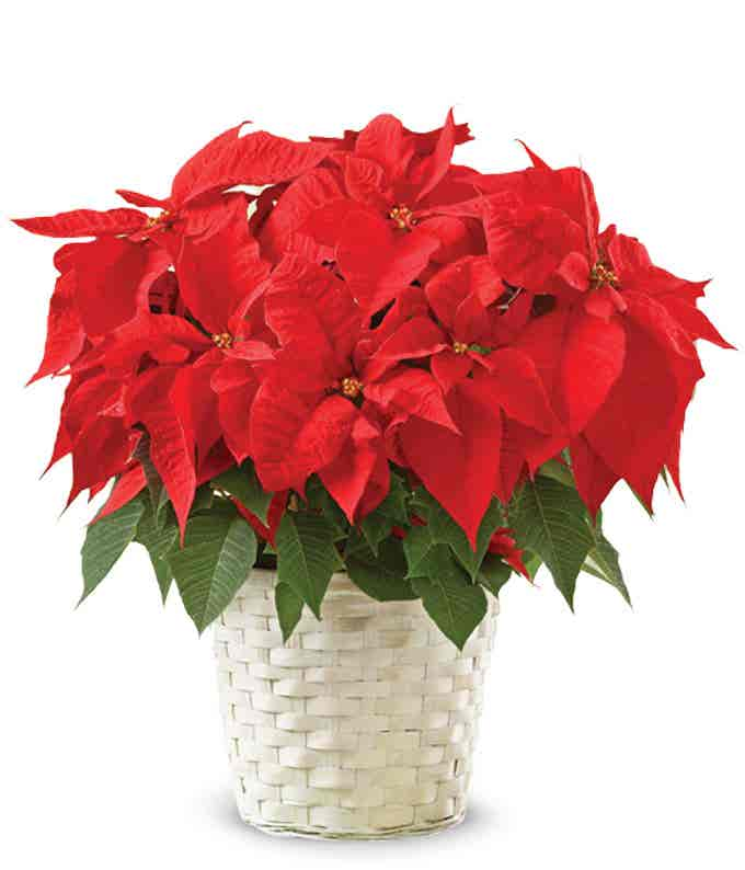 All red poinsettia plant in a white basket