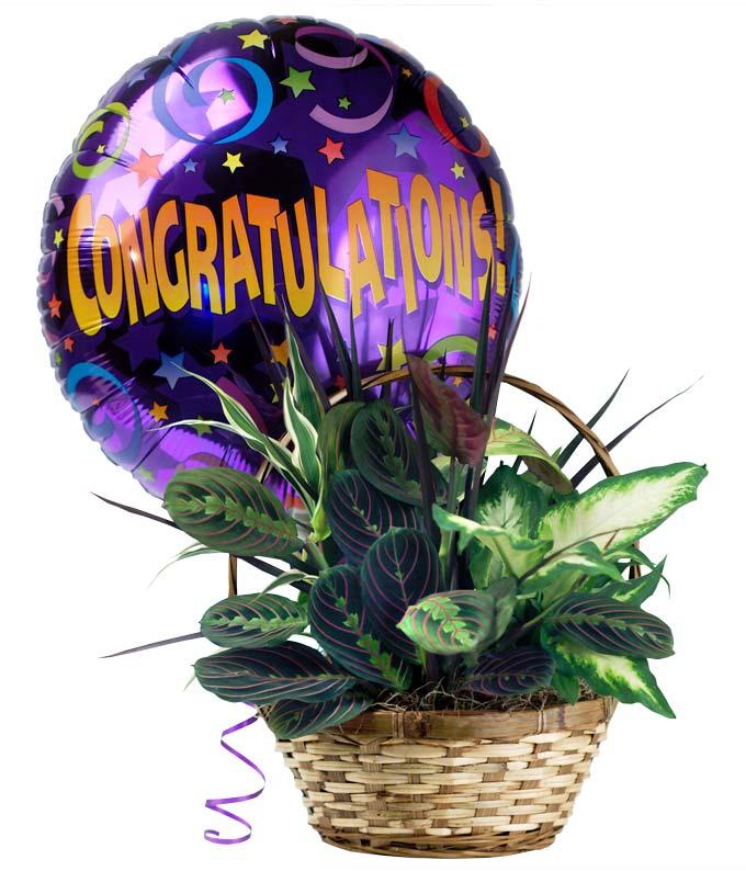 Dish garden plant hand arranged with a congratulations balloon