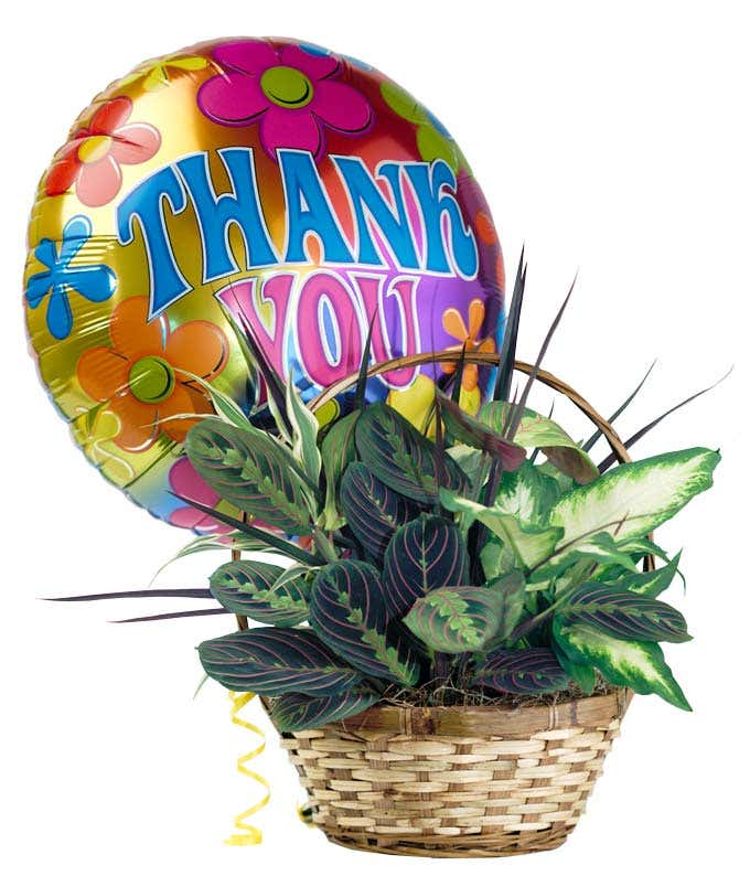 Dish garden plant delivered with thank you balloon