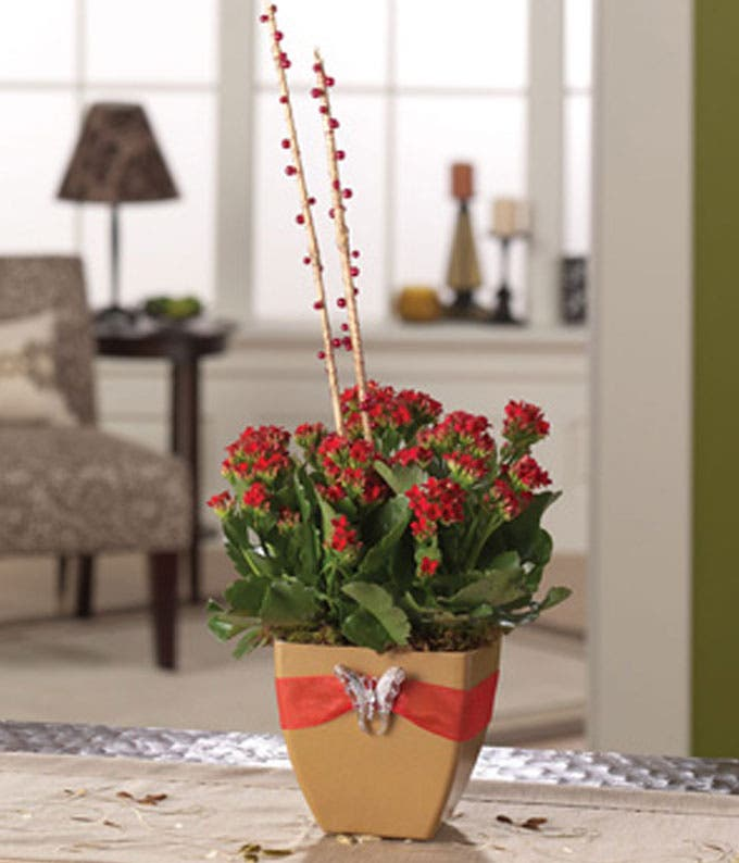 Red Kalanchoe plant for delivery in square vase