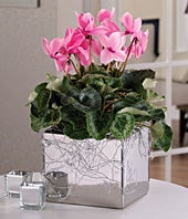 Pink cyclamen for same day plant delivery