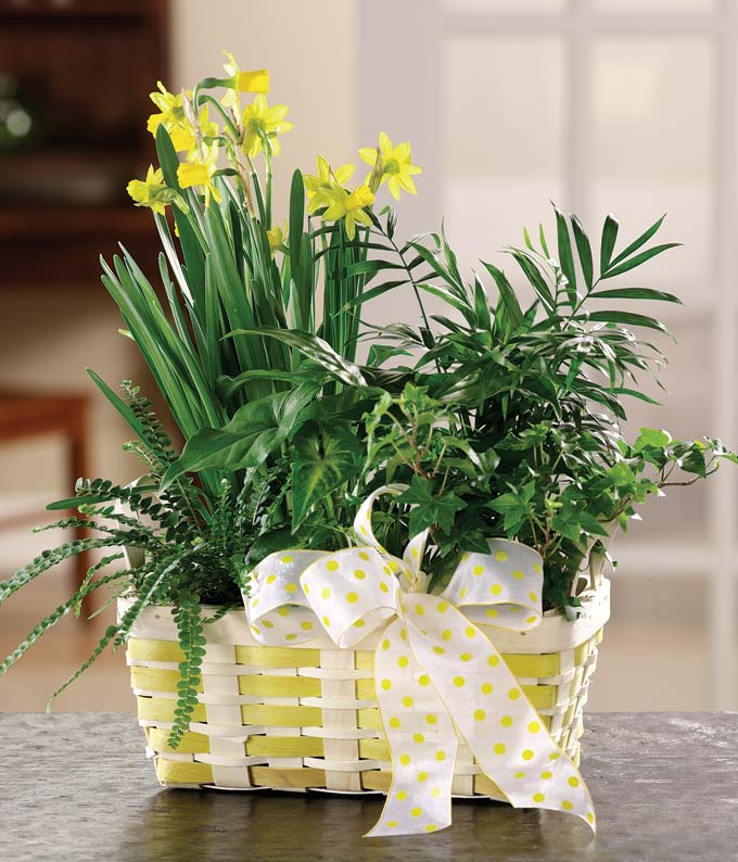 Daffodils and ivy plant in woven basket with ribbon