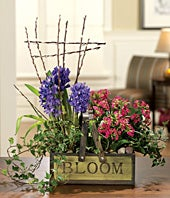 Kalanchoe and hyacinth plants for delivery