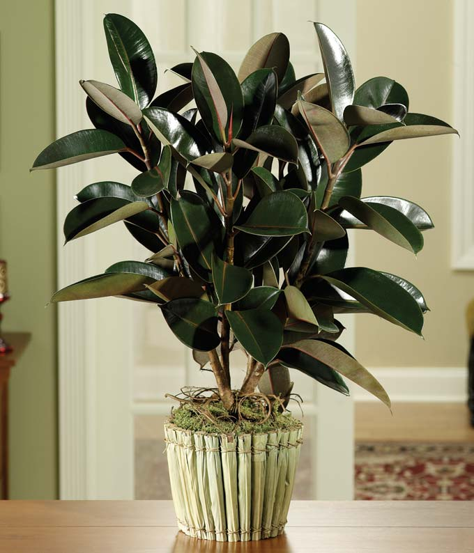Green rubber plant delivered in decorative pot