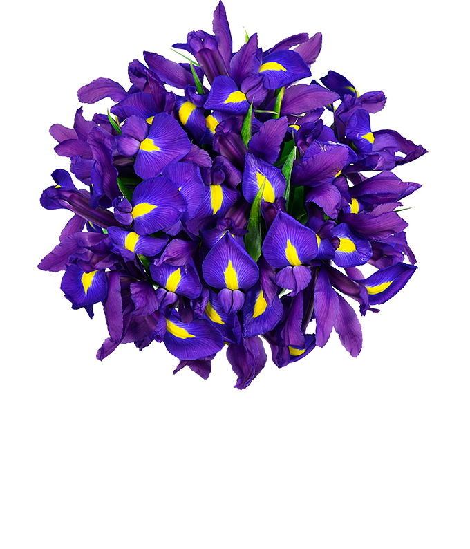 Blue Iris flowers for floral delivery