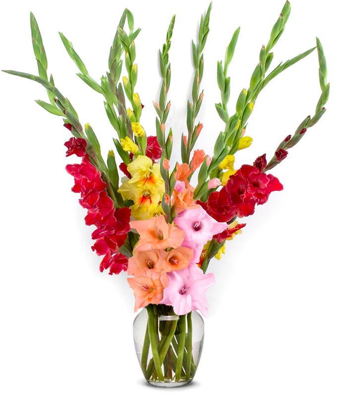 Stunning Rainbow Gladiolus - 12 Stems