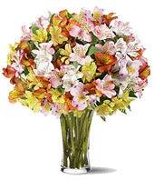 Radiant Peruvian Lilies!