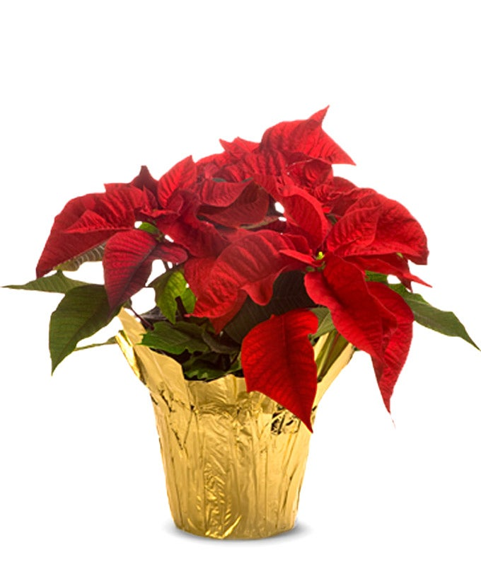 Christmas poinsettia for delivery today or next day