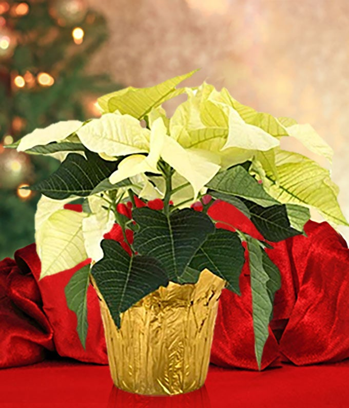 White Poinsettia for Delivery