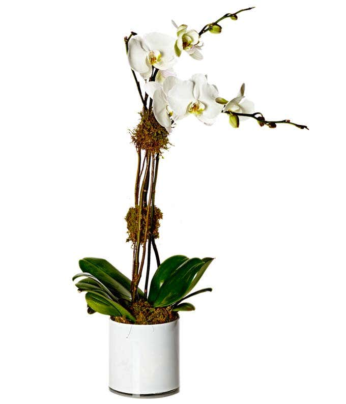 The Ultimate Orchid Plant