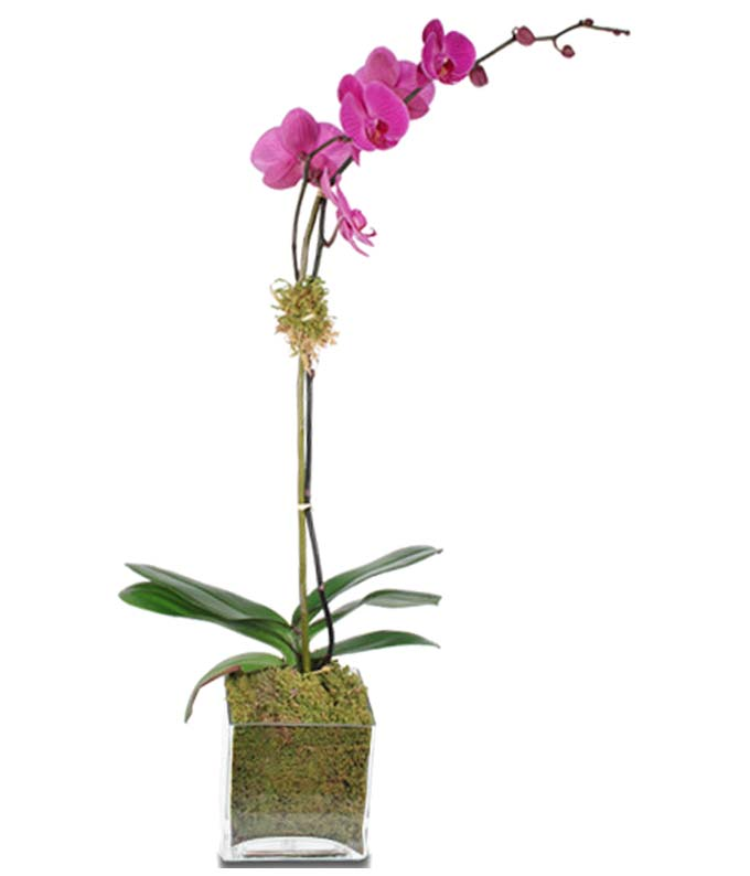 Pink orchid in square vase