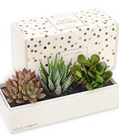 Happy Birthday Trio Succulent Gift Box
