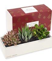 Merry Christmas Succulent Trio